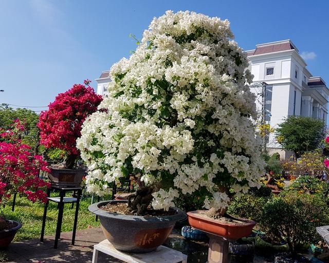 """Ngắm những cây hoa giấy """"khủng"""" có giá hàng chục triệu đồng - 3"""