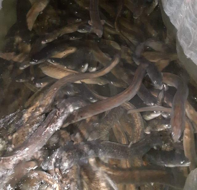 Quảng Bình: Kiếm tiềm tỷ nhờ nuôi cá chình trên cát trắng - 2