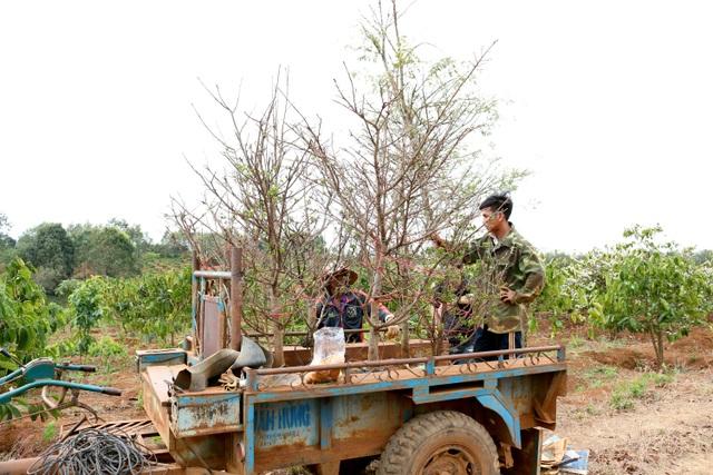 Gia Lai: Cận Tết, người Jrai rộn ràng kiếm tiền từ rừng mai vàng - 6