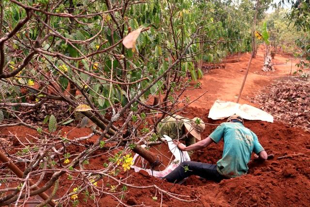 Gia Lai: Cận Tết, người Jrai rộn ràng kiếm tiền từ rừng mai vàng - 5