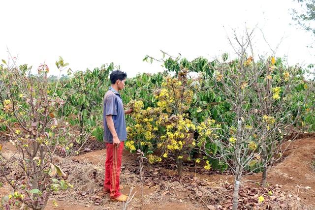 Gia Lai: Cận Tết, người Jrai rộn ràng kiếm tiền từ rừng mai vàng - 7