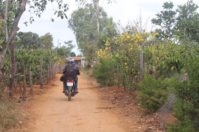 Gia Lai: Cận Tết, người Jrai rộn ràng kiếm tiền từ rừng mai vàng - 1