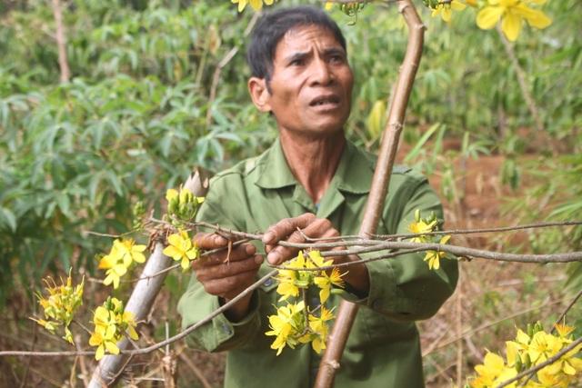 Gia Lai: Cận Tết, người Jrai rộn ràng kiếm tiền từ rừng mai vàng - 9