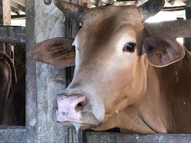 Hàng trăm con bò ngã bệnh, cả xã mất Tết - 2