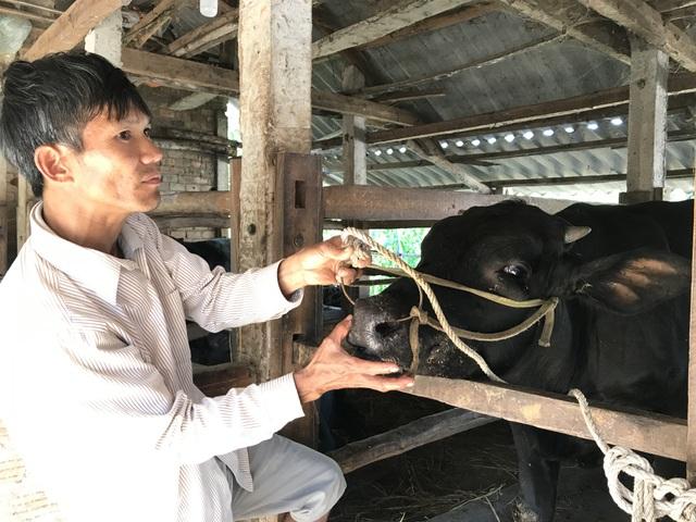 Hàng trăm con bò ngã bệnh, cả xã mất Tết - 4