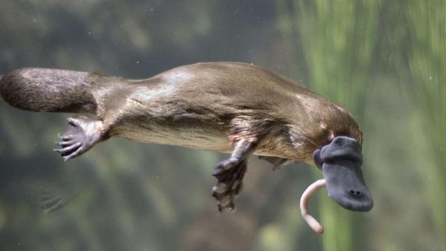 Thú mỏ vịt đang bị đẩy tới sự tuyệt chủng - 1