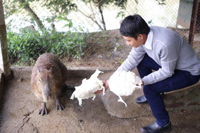 Hà Nội xuất hiện chuột khổng lồ nặng hơn 50 kg nuôi như nuôi lợn - 2