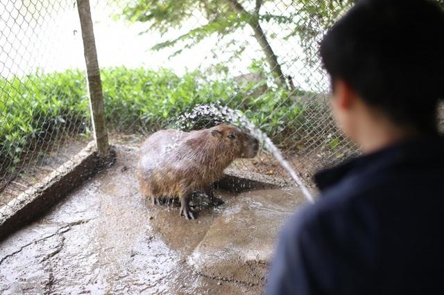 Hà Nội xuất hiện chuột khổng lồ nặng hơn 50 kg nuôi như nuôi lợn - 6