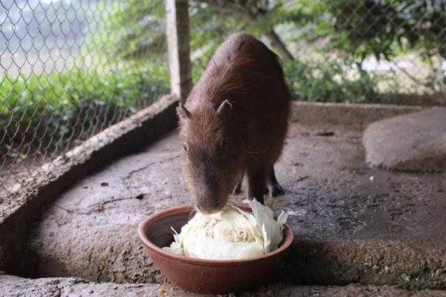 Hà Nội xuất hiện chuột khổng lồ nặng hơn 50 kg nuôi như nuôi lợn - 7