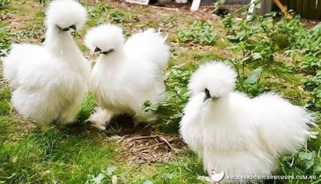 Loài gà kì quái, chân 5 ngón dị thường, dân chơi chi 10 triệu đồng đưa về nhà