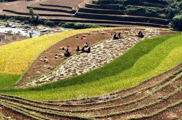 Ngắm mùa vàng trên ruộng bậc thang Mù Cang Chải - 4