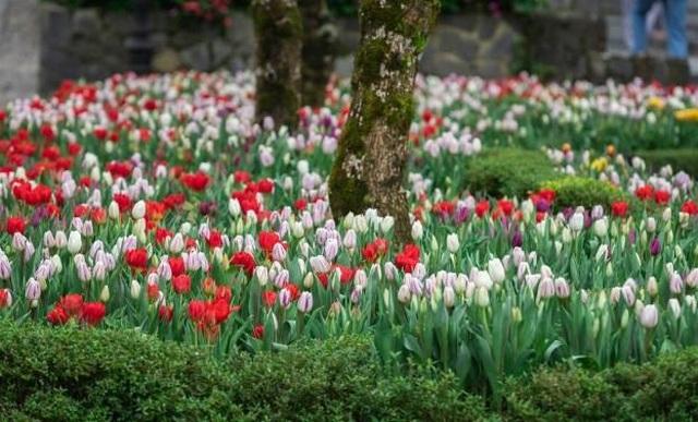 Du xuân cực chất tại thiên đường hoa tulip Sun World Ba Na Hills - 2