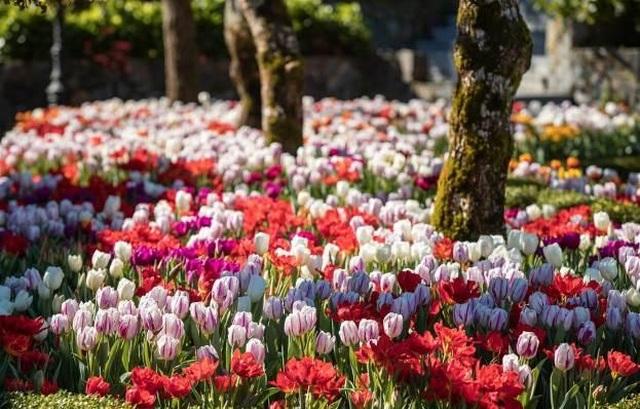 Du xuân cực chất tại thiên đường hoa tulip Sun World Ba Na Hills - 4