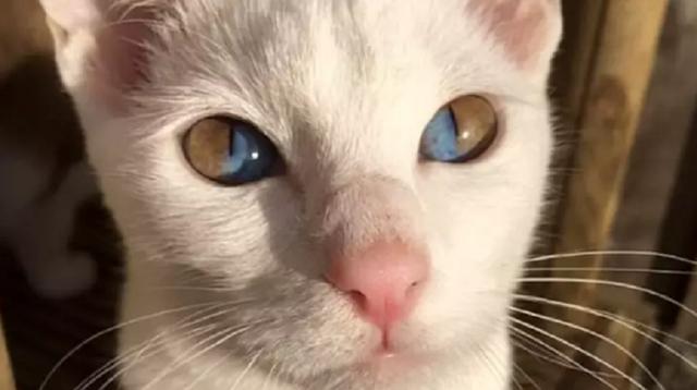 Mèo trắng có tròng mắt 2 màu cực hiếm - 1