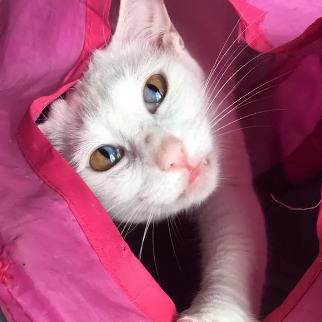 Mèo trắng có tròng mắt 2 màu cực hiếm - 2