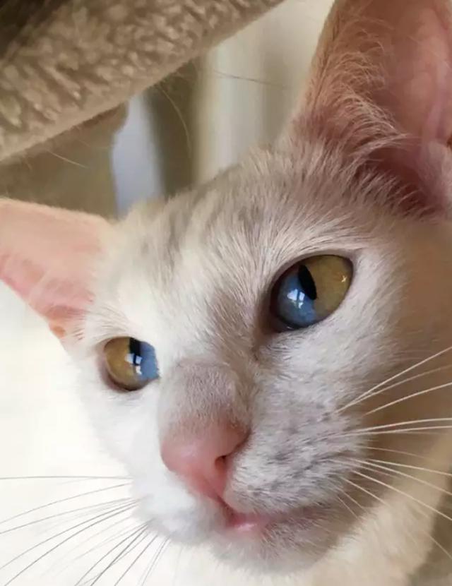 Mèo trắng có tròng mắt 2 màu cực hiếm - 3