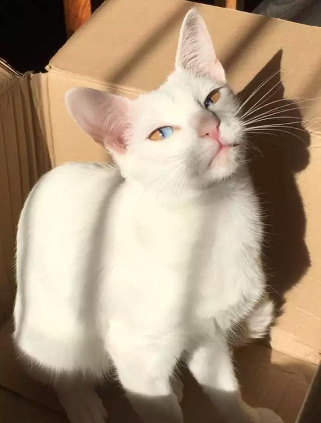 Mèo trắng có tròng mắt 2 màu cực hiếm - 4