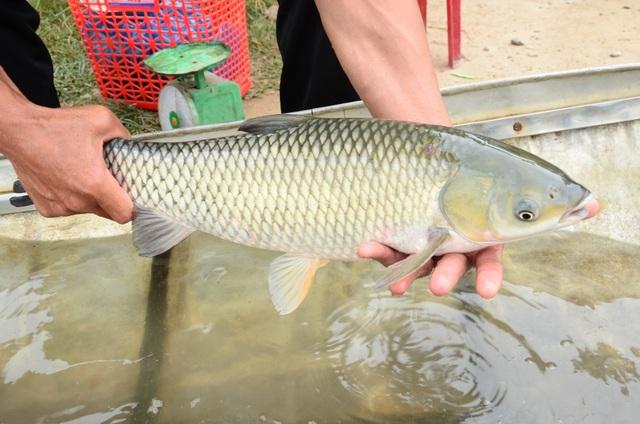Làng nuôi cá lồng hốt bạc dịp đầu Xuân - 6