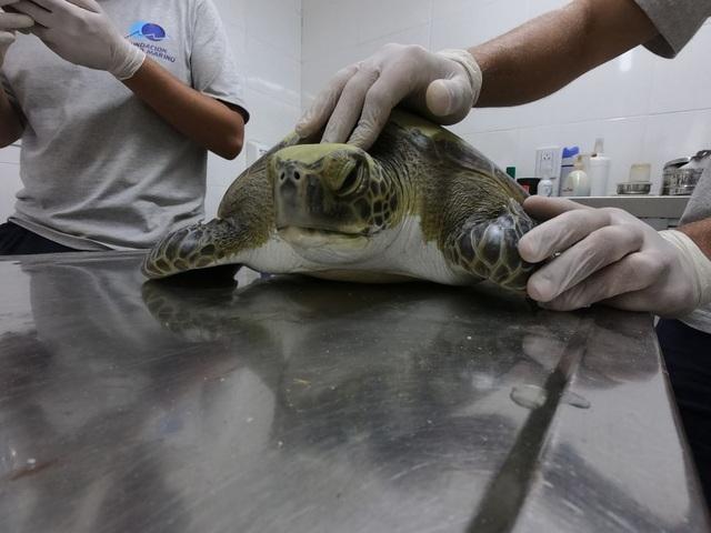 Rùa xanh mắc vào lưới đánh cá, bài tiết ra toàn rác thải của con người - 1