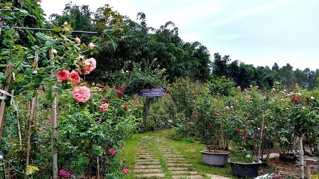Bỏ việc ở Hà Nội, 8X Phú Thọ về quê trồng vườn hoa hồng khủng - 1