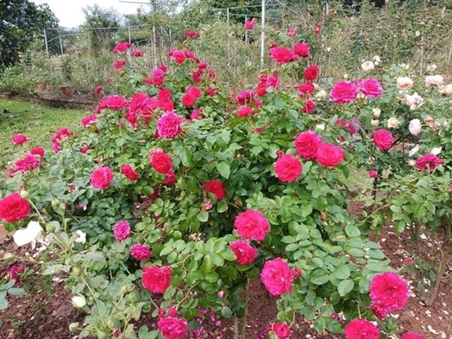 Bỏ việc ở Hà Nội, 8X Phú Thọ về quê trồng vườn hoa hồng khủng - 3