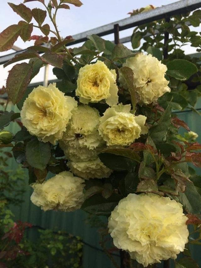 Bỏ việc ở Hà Nội, 8X Phú Thọ về quê trồng vườn hoa hồng khủng - 5