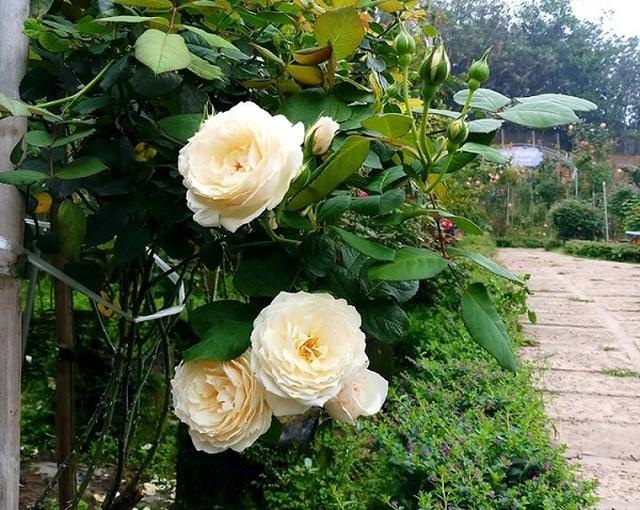 Bỏ việc ở Hà Nội, 8X Phú Thọ về quê trồng vườn hoa hồng khủng - 6