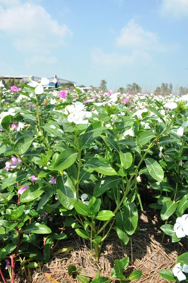 Ngất ngây với cánh đồng hoa dừa cạn ở An Giang - 10