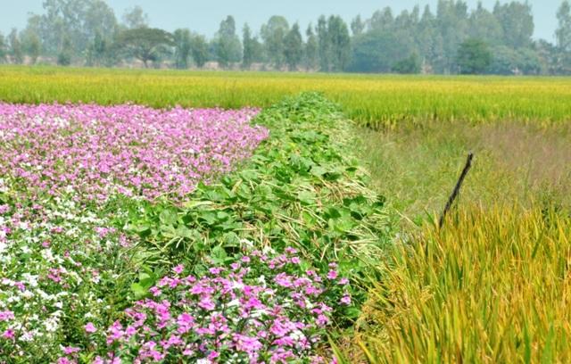 Ngất ngây với cánh đồng hoa dừa cạn ở An Giang - 14