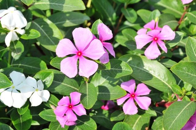 Ngất ngây với cánh đồng hoa dừa cạn ở An Giang - 12