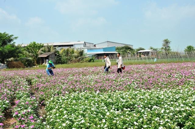 Ngất ngây với cánh đồng hoa dừa cạn ở An Giang - 16