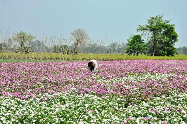 Ngất ngây với cánh đồng hoa dừa cạn ở An Giang - 9