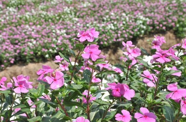 Ngất ngây với cánh đồng hoa dừa cạn ở An Giang - 11