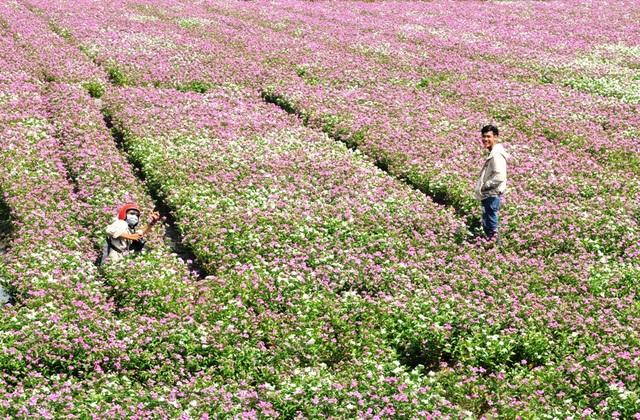 Ngất ngây với cánh đồng hoa dừa cạn ở An Giang - 3