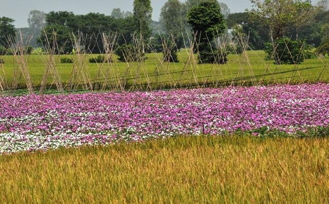 Ngất ngây với cánh đồng hoa dừa cạn ở An Giang - 15