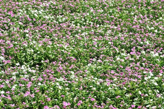 Ngất ngây với cánh đồng hoa dừa cạn ở An Giang - 4