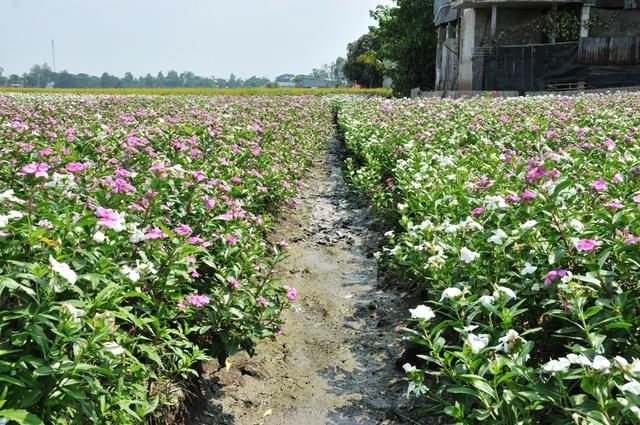 Ngất ngây với cánh đồng hoa dừa cạn ở An Giang - 5