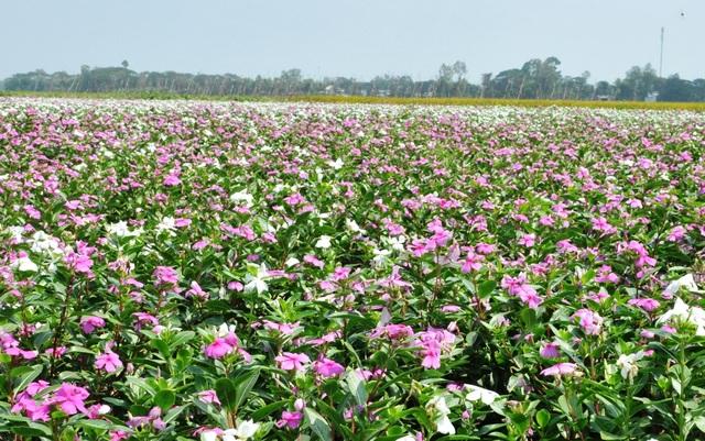 Ngất ngây với cánh đồng hoa dừa cạn ở An Giang - 1