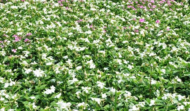 Ngất ngây với cánh đồng hoa dừa cạn ở An Giang - 8