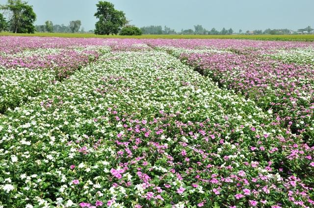 Ngất ngây với cánh đồng hoa dừa cạn ở An Giang - 6