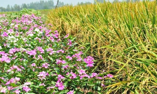 Ngất ngây với cánh đồng hoa dừa cạn ở An Giang - 13