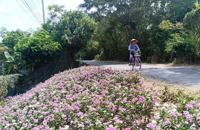 Ngất ngây với cánh đồng hoa dừa cạn ở An Giang - 17