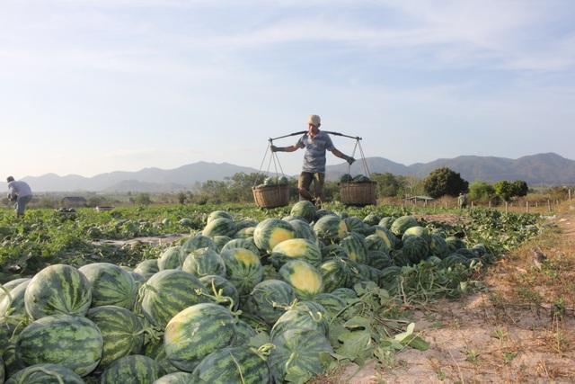 500 đồng/kg dưa hấu, nông dân khóc ròng bỏ mặc cả ruộng dưa - 7