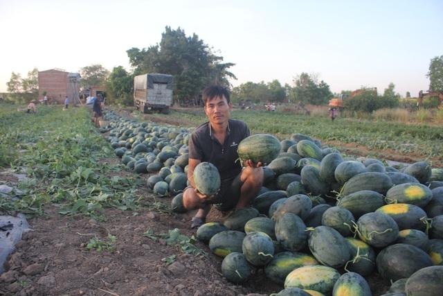500 đồng/kg dưa hấu, nông dân khóc ròng bỏ mặc cả ruộng dưa - 1