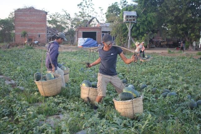 500 đồng/kg dưa hấu, nông dân khóc ròng bỏ mặc cả ruộng dưa - 2