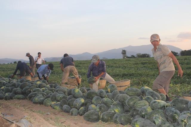 500 đồng/kg dưa hấu, nông dân khóc ròng bỏ mặc cả ruộng dưa - 6