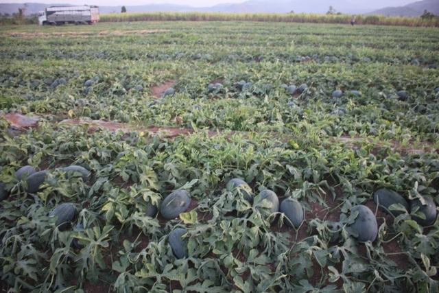 500 đồng/kg dưa hấu, nông dân khóc ròng bỏ mặc cả ruộng dưa - 3
