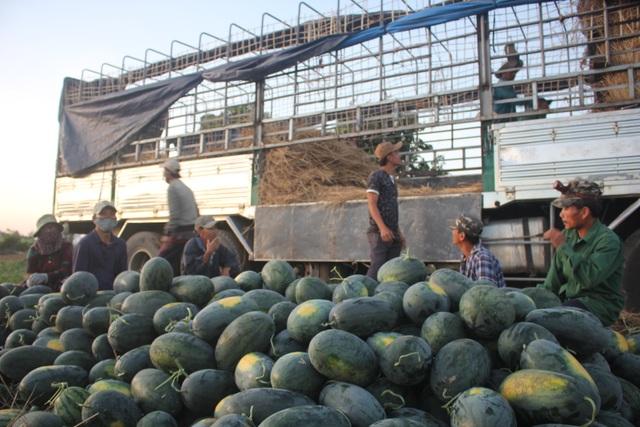 500 đồng/kg dưa hấu, nông dân khóc ròng bỏ mặc cả ruộng dưa - 5