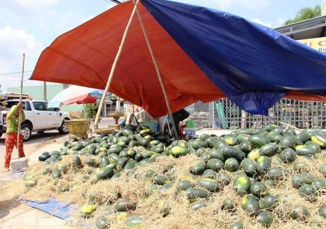 Giá dưa hấu tuột dốc vì corona, người trồng lao đao lo thu hồi vốn - 2