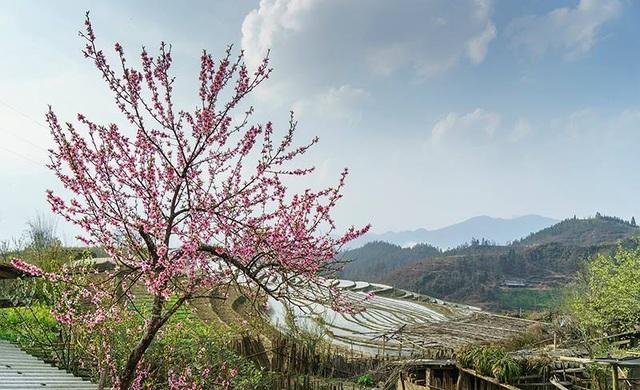 Hoa đào núi Tây Bắc khoe sắc hồng tuyệt đẹp trong nắng xuân - 5